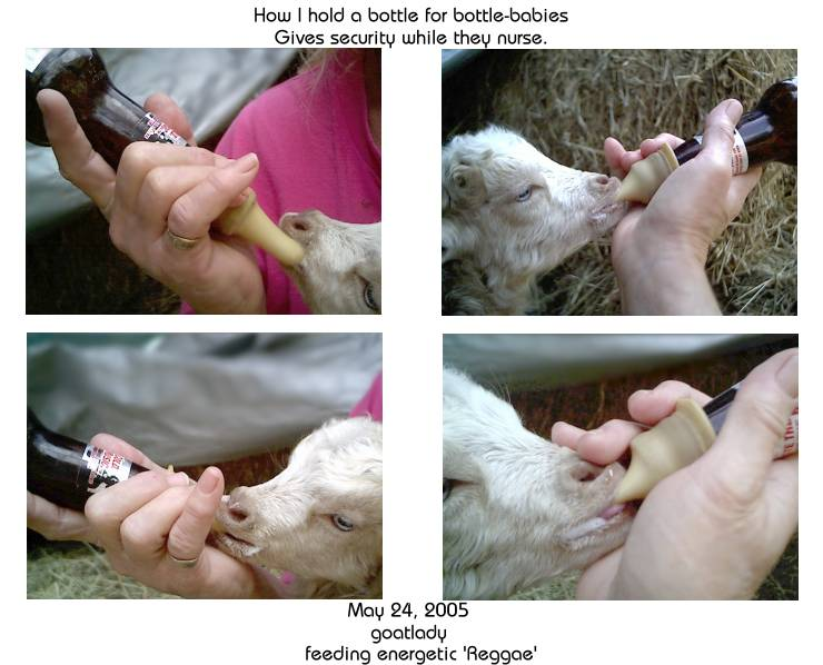 How to hold a bottle for baby Goat bottle feeding